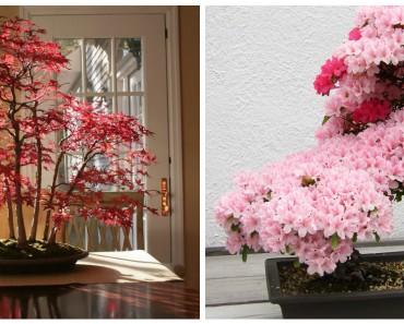 copac-planta-bonsai